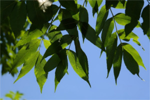 Ash tree compound leaves