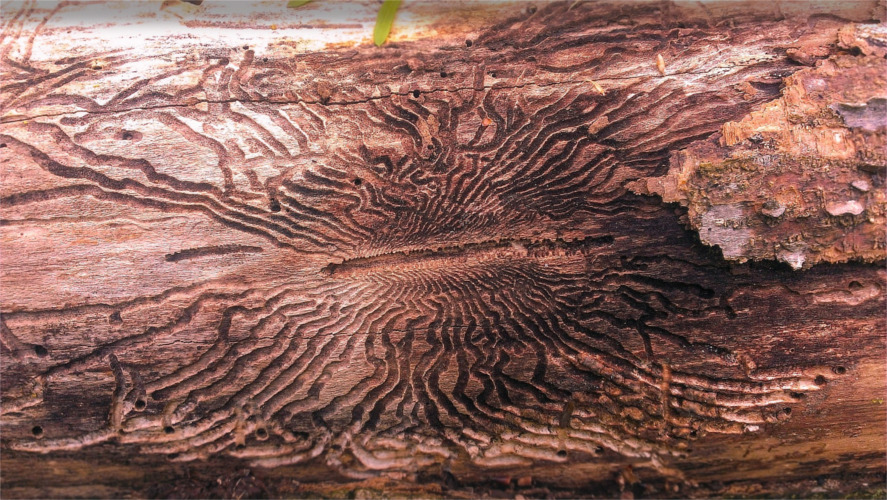 tree nutrient disruption caused by EAB