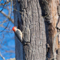 Woodpecker feeding on insects in tree bark